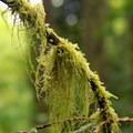 Cat tail moss (Isothecium myosuroides).- An Ode to Moss!