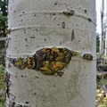 Aspen groves.- Protecting Spraddle Creek Wilderness and the Continental Divide