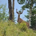 Large mule deers abound.- Protecting Spraddle Creek Wilderness and the Continental Divide