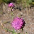 Musk thistle, an invasive yet pretty weed species.- Protecting Spraddle Creek Wilderness and the Continental Divide