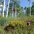 Musk thistle.- Protecting Spraddle Creek Wilderness and the Continental Divide