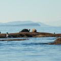 Harbor seals and other wildlife can often be seen near the north end of Lummi Island on the way to Clark Island.- 50 of Washington's Best Sea Kayaking Adventures