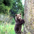 Grizzly cub in spring. Photo courtesy of Central Montana.- Central Montana: Best Wildlife Experiences in the West