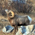 Central Montana is home big horn sheep. Photo courtesy of Central Montana.- Central Montana: Best Wildlife Experiences in the West