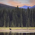 Moose enjoy the scenery of Central Montana, too. Photo courtesy of Central Montana.- Central Montana: Best Wildlife Experiences in the West