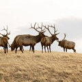 Bull elk. Photo courtesy of Central Montana.- Central Montana: Best Wildlife Experiences in the West