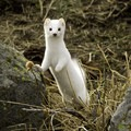 Ermine stoats inhabit the Central Montana landscape. Photo courtesy of Central Montana.- Central Montana: Best Wildlife Experiences in the West