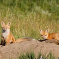 Fox pups enjoy a sunny afternoon in Central Montana grasslands. Photo courtesy of Central Montana.- Central Montana: Best Wildlife Experiences in the West