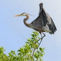Great blue heron. Photo courtesy of Central Montana.- Central Montana: Best Wildlife Experiences in the West