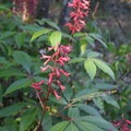 Red buckeye along the service road leading to the Florida Trail.- Cathedral of Palms Trail