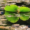 Reflection of a lily pad- Hosmer Lake Canoe/Kayak