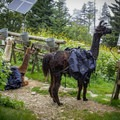 Llamas taking a break while supplies are unloaded and the next round is collected to carry back down. - LeConte Lodge