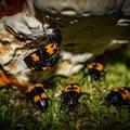 Pleasing fungus beetles munching on breakfast. - Rainbow Falls Trail via LeConte Creek