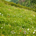 meadow of wildflowers- Saddle Mountain