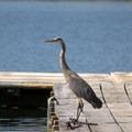 Blue heron at Lava Lake.- Lava Lake