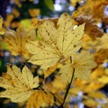 Fall leaves at Silver Falls State Park.- Silver Falls, Trail of 10 Falls