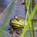 Frog in Finley Wildlife Refuge.- William L. Finley National Wildlife Refuge