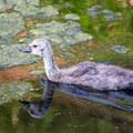 A gosling in Delta Ponds.- Delta Ponds