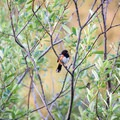 Spotted Towhee.- Delta Ponds