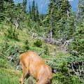 Deer grazing on Hurricane Ridge.- Hurricane Ridge
