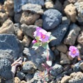 Wildflowers growing around Lava Butte.- Lava Butte + Lookout Tower