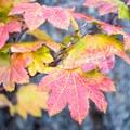Fall leaves by Suttle Lake.- Suttle Lake Loop