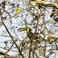 Keel-billed toucan (Ramphastos sulfuratus).- Tikal National Park