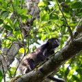 Spider monkey.- Tikal National Park