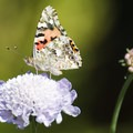 A Painted Lady Butterfly adds a flash of color to the Spring blooms at the garden.- Fullerton Arboretum