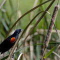 A Red-winged Blackbird hunts for lunch at the arboretum's small lake.- Fullerton Arboretum