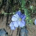 Desert Flower!!!- Lower Whychus Creek Trail