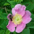 Bee/Flower- Hamilton Mountain Hike