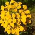 Rough Wallflower (Erysimum capitatum)- Augspurger Mountain
