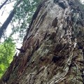 Big Beautiful Trees!!!- Siouxon Creek Hike