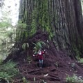 HUGE trees!- Jedediah Smith Redwoods State Park