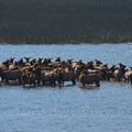 PRAIRIE CREEK ROOSEVELT ELK- Prairie Creek Roosevelt Elk