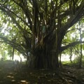 Just one portion of the banyan. The branches extend to other trees. - Rainbow Falls near Hilo