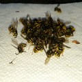 Bee infestation 2015- Owhi Campground