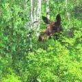 Moose 1, a cow along the tral to Willow Heights- Willow Heights Hike