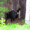 Moose 3 and 4, a bull and cow above Willow Heights lake- Willow Heights Hike