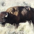 Bison- Antelope Island State Park