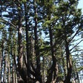 Such a cool tree. - Cape Meares Lighthouse