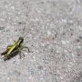 Grasshopper- Muddy Fork