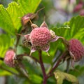 Thimbleberry- Cape Lookout Hiking Trail