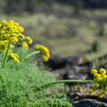 Wild Parsley- Tom McCall Point Hike
