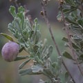 Berries on the sagebrush- Smith Rock State Park