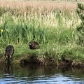 2 river otters enter Beaver Creek early on a spring day- Beaver Creek State Natural Area