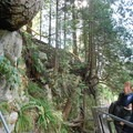 Trees along the cliff walk- Capilano Suspension Bridge Park