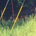 A bear seen driving from town out to the campground.- Junction Creek Campground