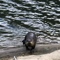 who doesn't love otters- Coldwater Lake Hiking Trail